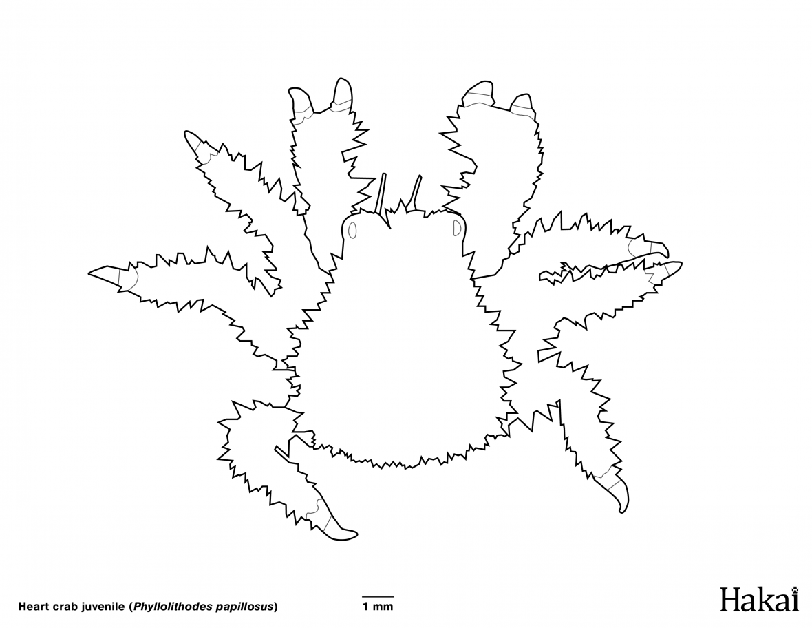 Heart crab colouring page
