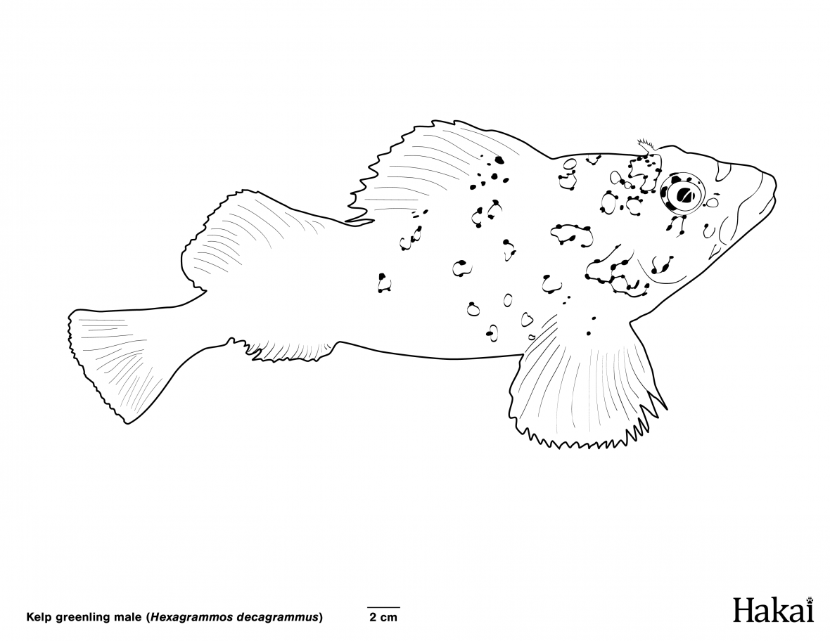 kelp greenling colouring page