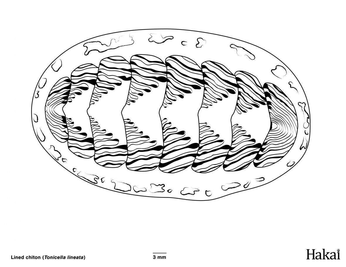 Lined chiton colouring page